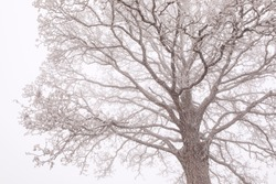 Frost on the oak tree crown. Autumn background. Cold, foggy weather. Silhouette of deciduous tree in the mist with rime ice.