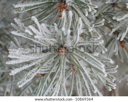 frosted conifer #10869364