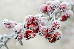 Frosted hawthorn berries in the garden.