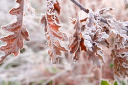 Frosted oak tree leaves in a winter morning