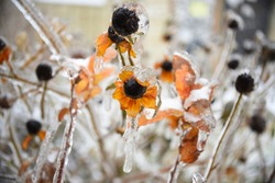 Frosted orange flower with snow and ice. Russian winter.