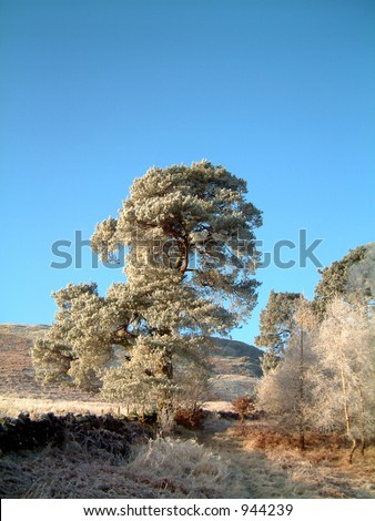 Frosted Scots Pine tree on woodland path, Scotland