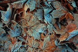 Frosty dry autumn leaves, beautiful natural background. Frozen fall season. first autumn frosts, cold weather concept.