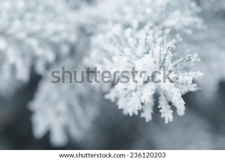 frosty fir twigs in winter covered with rime, closeup photo #236120203