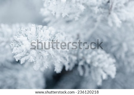 frosty fir twigs in winter covered with rime, closeup photo #236120218