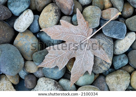 Frosty leaf fallen on rocks
