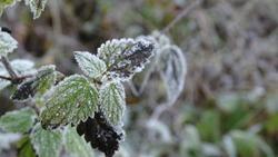 Frosty leafs in autumn of mint