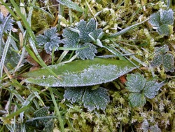 Frosty Leaves and Grass 1