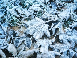 Frosty leaves, England.