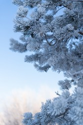 Frosty Spruce Branches.Outdoor frost scene. Snow winter background. Nature forest light landscape. Beautiful tree and sunrise sky. Sunny, snowy, scenic, snowfall.