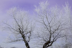 Frosty trees against purple sky, Tranquil winter nature in sunlight, Winter scenery, frosty trees in forest