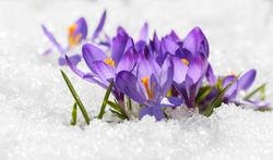 Frowers Crocus covered with snow after snowfall in the spring