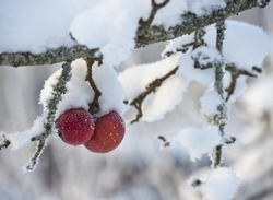 Frozen and frosty red apples that stayed on the tree are covered with a layer of snow in the winter months