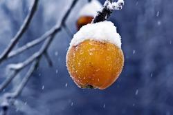 Frozen apple in snow