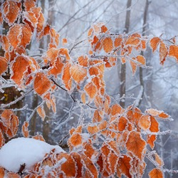 Frozen autumn leaves on the beech branch.