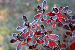 Frozen azalea with red leaves The first frosts, cold weather, frozen water, frost and hoarfrost. Macro shot. Early winter . Blurred background.