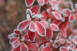 Frozen azalea with red leaves. The first frosts, cold weather, frozen water, frost, and hoarfrost. Macro shot. Early winter. Blurred background.