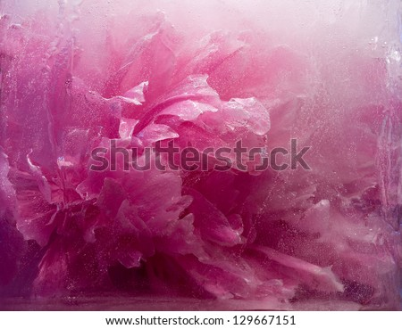 Frozen beautiful    pink peony flower.  blossomsin the ice cube