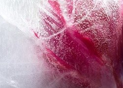 Frozen beautiful   tulip flower.  blossomsin the ice cube