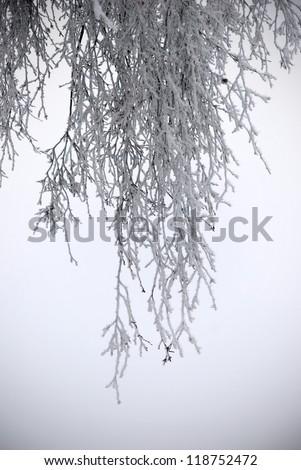 frozen birch branches on field in fog - stock photo