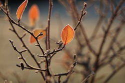 Frozen Blueberry Branch With Last Red Leaves And Frost In The Garden.