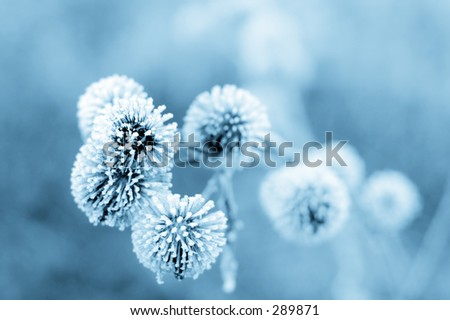 Frozen burdock plant + blue filter