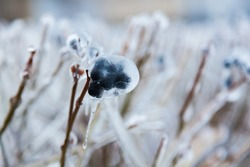 Frozen bushes with black berries. Ice on the bushes with berries.