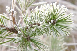 Frozen evergreen pine branch on one of the first cold mornings of the year in the north