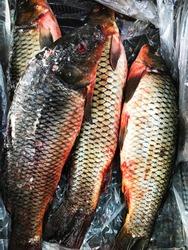 Frozen fish. Freshfish market. Gilt-head bream. Fish sale in market. Sea bream fish on ice.