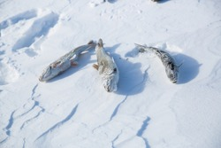 Frozen fish on snow