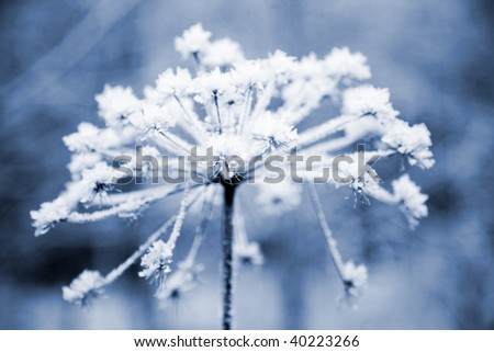 Frozen flower in blue tone, very shallow focus