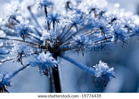 Frozen flower in the cold morning-blue