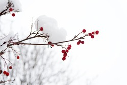 Frozen food. Climate control. Seasonal berries. Christmas rowan berry branch. Hawthorn berries bunch. Rowanberry in snow. Berries of red ash in snow. Winter background. Frosted red berries.
