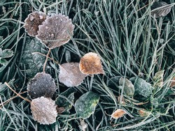 Frozen grass and leaves. Frost, frost on the grass and ground. Background with the first autumn frosts.