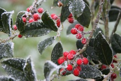 Frozen holly common christmas plant closeup during winter