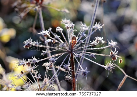 frozen inflorescence of a wild angelica #755737027
