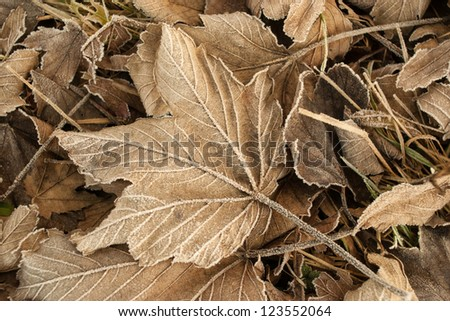 Frozen leaf in winter