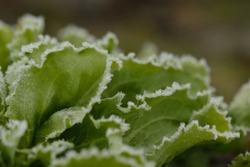 frozen leafs of a endive plant