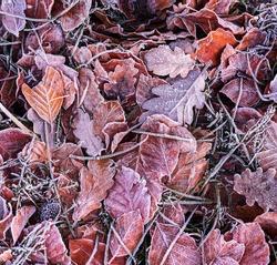 Frozen leaves on a crisp Winters morning