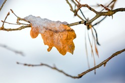 frozen oak leaf on tree twig in sunny winter day