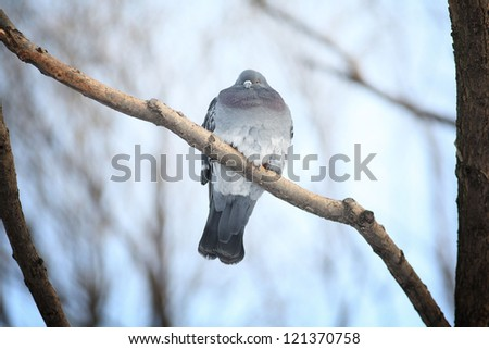 frozen pigeons on a branch in winter