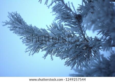 Frozen pine needles #1249257544