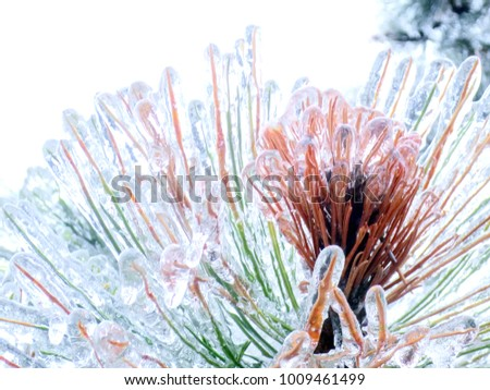 Frozen Pine Tree Needles After Ice Storm #1009461499