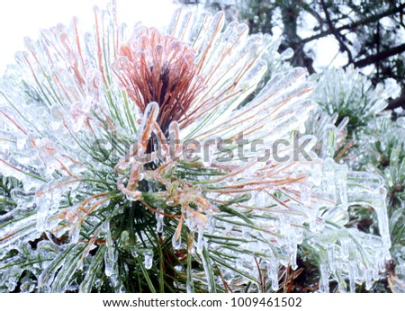 Frozen Pine Tree Needles After Ice Storm #1009461502