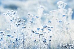 Frozen plants in winter with the hoar-frost