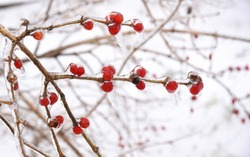 Frozen red berries on a branch in ice and snow on a winter day in russia