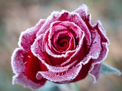 Frozen red rose in nature with black vignette