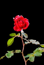 frozen red rose isolated on black background