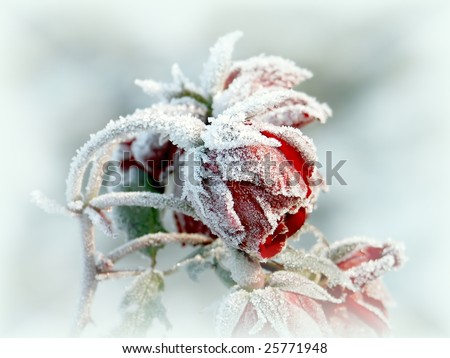 Frozen red roses in the early morning. Photo taken in October.