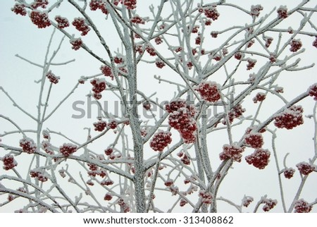 Frozen red rowan berry tree under white frost cold winter day
